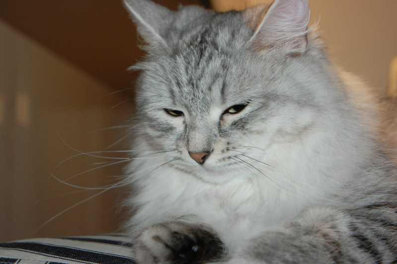 Cattery für sibirische Katzen - Unsere Samtpfoten
